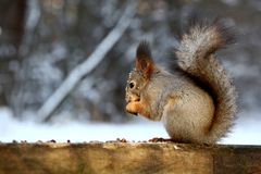Red squirrel in winter park royalty free stock images