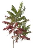 Little staghorn sumac tree Royalty Free Stock Photo