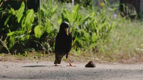 A little starling stubbornly to pick up the piece of bread. As soon as it suceeds, it flies away stock video footage