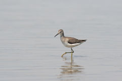 Little Stint Royalty Free Stock Photos