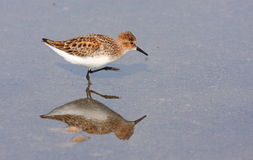 Little stint Royalty Free Stock Photography