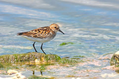 Little stint Royalty Free Stock Image