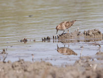 Little stint Royalty Free Stock Images