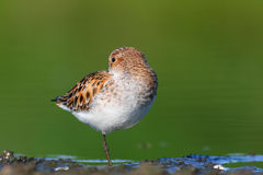 Little Stint Royalty Free Stock Photo