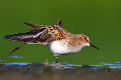 Little Stint Stock Images