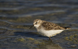 Little Stint. Is looking for food on a pond Royalty Free Stock Photos