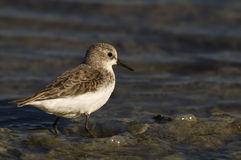 Little Stint. Is looking for food on a pond stock photo