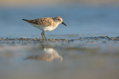 Little Stint Stock Photos