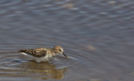 Little Stint (Calidris minuta) Stock Image