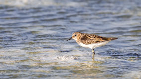 Little Stint Stock Image