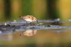 Little Stint Calidris minuta Stock Photos