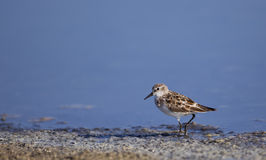 Little Stint (Calidris minuta) Stock Photos