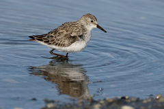 Little stint, Calidris minuta Stock Photo