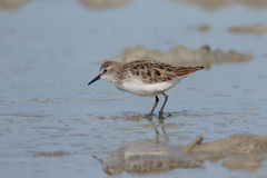 Little stint, Calidris minuta Royalty Free Stock Photo