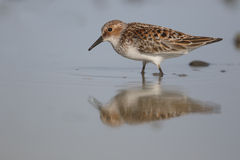Little stint, Calidris minuta Royalty Free Stock Image