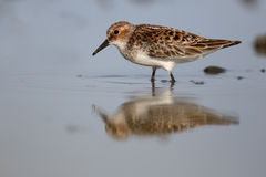 Little stint, Calidris minuta Royalty Free Stock Images