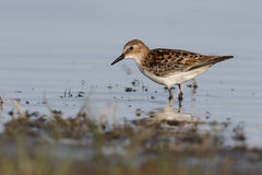 Little stint, Calidris minuta Royalty Free Stock Photography