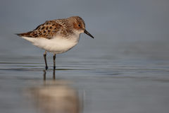 Little stint, Calidris minuta Stock Image
