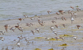 Little Stint and Curlew Sandpiper Stock Photos