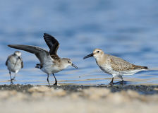 Little Stint & With Dunlin Royalty Free Stock Photos