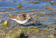 Little Stint feeding Royalty Free Stock Photo