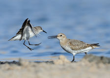 Little Stint Fight With Dunlin Royalty Free Stock Images