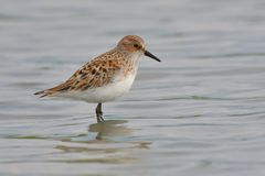Little stint in shallow water stock photo