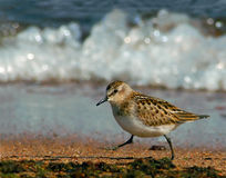 Little Stint at the shoreline Stock Images