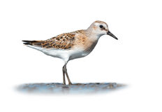 Little stint on white Stock Photography