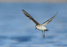 Little Stints Flying Royalty Free Stock Photography
