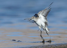 Little Stints Jumping Royalty Free Stock Images