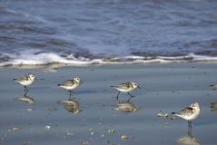 Little stints at the seaside Royalty Free Stock Photo