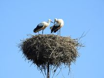 Little stork birds in nest, Lithuania royalty free stock photography
