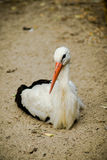 A little stork. Stork is sitting on the ground stock images