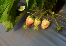 Little Strawberries Royalty Free Stock Image