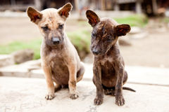 Little stray dogs. Tiny puppies being curious (focus on the dark one Royalty Free Stock Photos