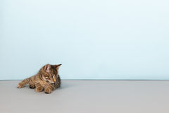 Little striped cat on blue background Royalty Free Stock Image