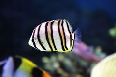 Little striped fish Royalty Free Stock Image