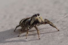 Little striped jumping spider on a metal wall stock images