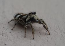 Little striped jumping spider on a metal wall royalty free stock photography