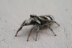 Little striped jumping spider on a metal wall stock photos