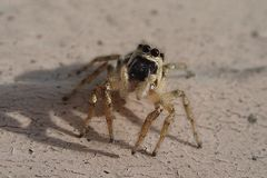 Little striped jumping spider on a metal wall stock photography