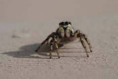 Little striped jumping spider on a metal wall royalty free stock photos