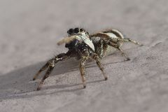 Little striped jumping spider on a metal wall royalty free stock images