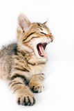 Little striped kitten growls. Small striped British kitten growls Stock Photos