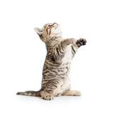Little striped  kitten looking up Royalty Free Stock Photos