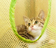Little striped kitten with spotty nose looking up Royalty Free Stock Photos