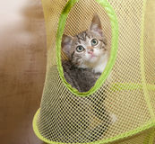 Little striped kitten with spotty nose Royalty Free Stock Photo