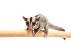 Little sugar-glider climb the branch Stock Photos