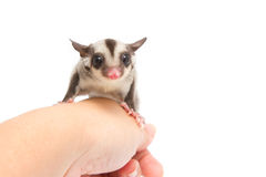 Little sugar-glider rest in hand Stock Images